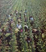 Архив Изгубената Българи Тютюноберачи